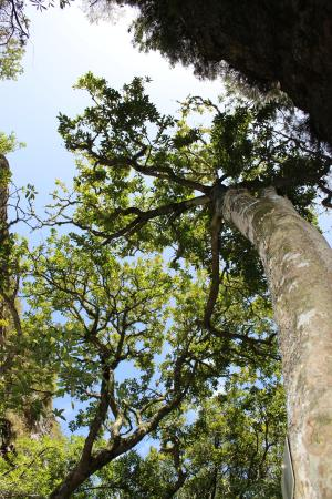 Hermanus, Zuid-Afrika: Giant trees in the Fernkloof Nature Reserve