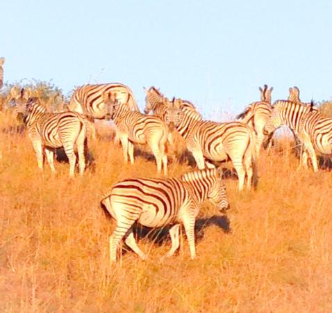 ZuluWaters Game Reserve: Zebras on Zulu Water Game Reserve