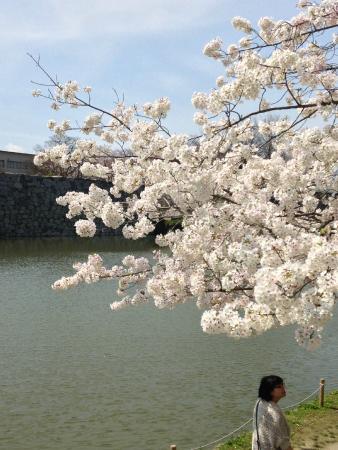Fukuoka Castle Cherry Blossom Matsuri: Maizuru Park, Fukuoka