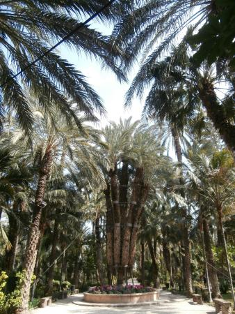 Palmera Imperial - Picture of Palm Groves (Palmeral) of Elche, Elche - TripAd...