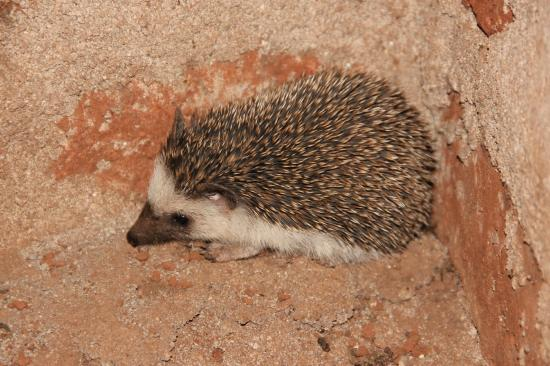 Haven Nature Camp and Lodge: This little African Hedgehog was seen at night, before I frightened him and he curled into a bal