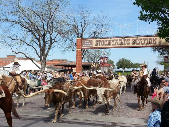 Longhorn cattle drive at the Ft Worth Stockyards Picture of Fort