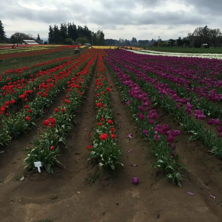Wooden Shoe Tulip Farm : Rows and rows and rows