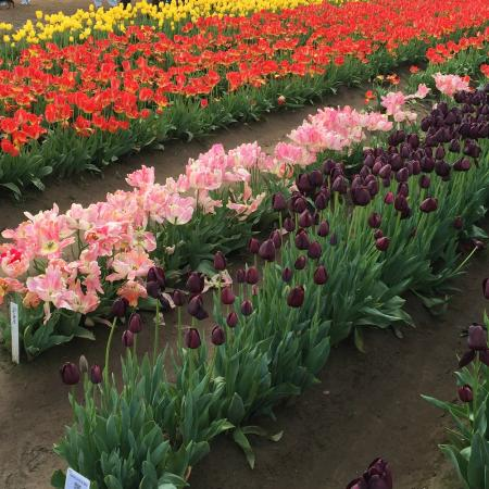 Wooden Shoe Tulip Farm : Purplish black tulips