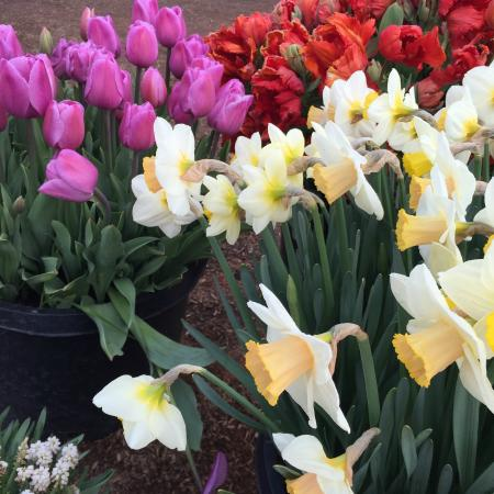 Wooden Shoe Tulip Farm : Daffodils!