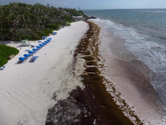 Saint Philip Parish, Barbados: Sargassum Sea Weed invasion at The Crane Beach