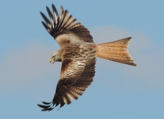 Red Kite Feeding Station: A magnificent Red Kite in flight
