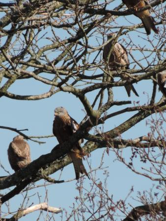 Red Kite Feeding Station: Waiting for luinch . . .