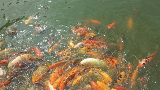 Starving koi fish beautiful garden picture of japanese for Japanese friendship garden san jose koi fish