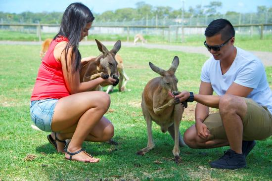 Port Stephens, Australia: Feeding the friendly Kanagroos at Oakvale Farm