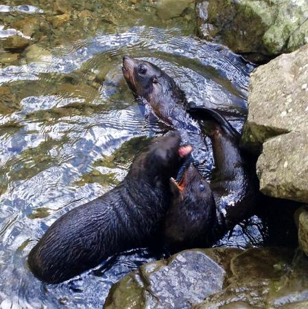 Ohau Stream Walk : Seal pups approx 3 months