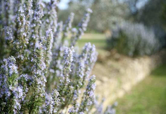 Borgo I Vicelli Country Relais: Blommande rosmarin som omger gården