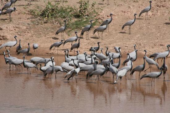 Demoiselle Cranes at Khichan near Jamba
