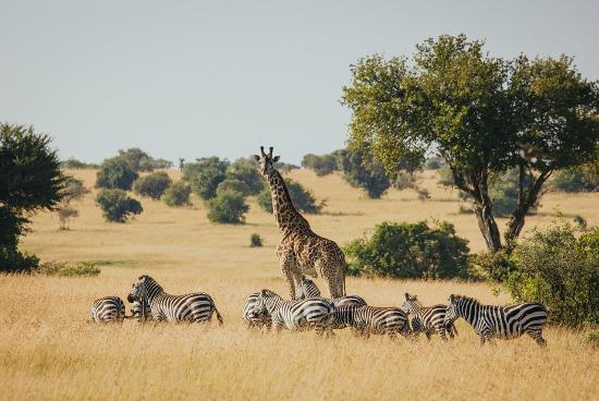 Giraffe And Zebra At Serengeti National Park Picture Of Eyes On - 9 things to see and do in serengeti national park