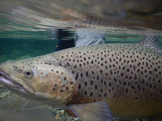 Stonefly Lodge: Trout in water