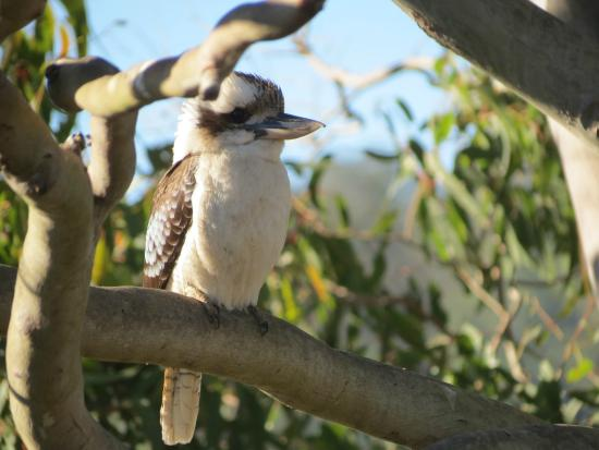 Yabbaloumba Retreat: Kookaburra in a tree next to the deck.