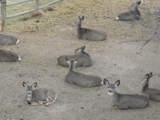 Cascade, MT: Deer Relaxing in our Driveway