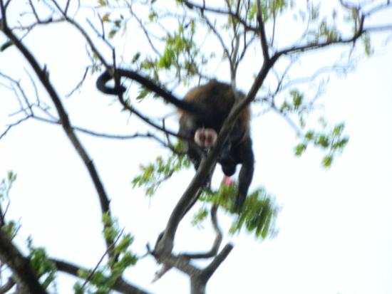 Tamarindo Beach Cabinas: March 2015; larger monkey, male.