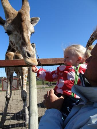 B Bryan Preserve : Feeding the giraffes before they play on 9 acres