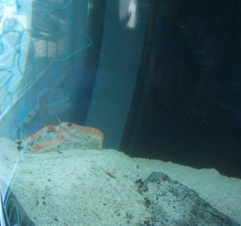 Tobermory Marine Exhibition: Shrimp?