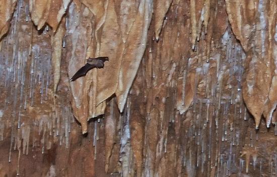 Onondaga Cave--bat