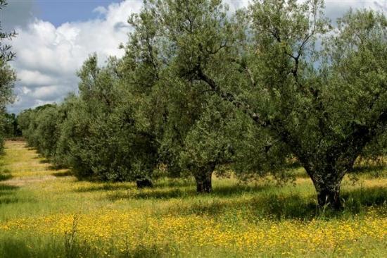 Cellere, Italia: OLIVETO