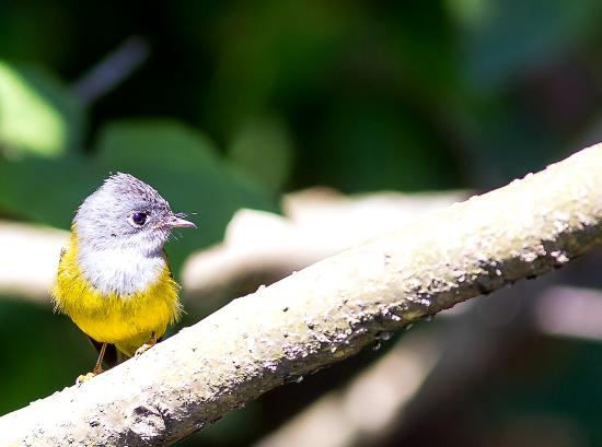 Kothamangalam, Indien: Grey-headed Canary Flycatcher