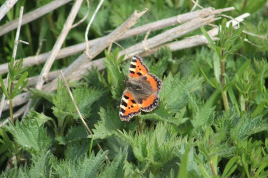 High Woods Country Park: Small Tortoiseshell butterfly
