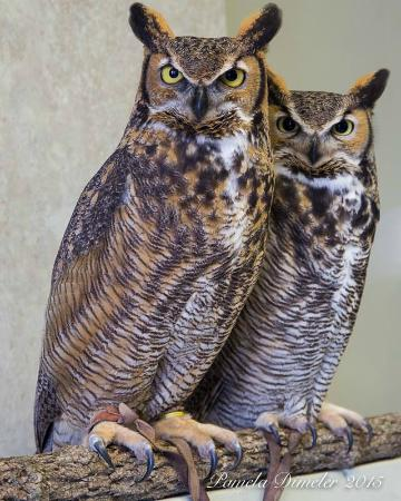 Houston, Minnesota: Meet Ruby and Rupert the Great Horned Owls.