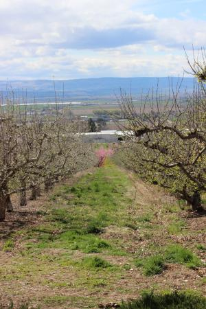 Ste. Chapelle Winery : Rows of apple trees.