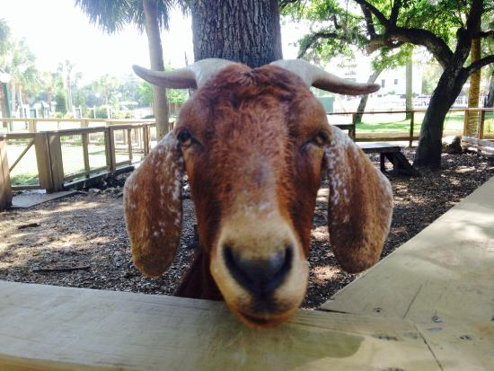 Steinhatchee Landing Resort : Petting zoo
