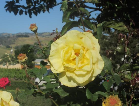 Flowers, Guglielmo Winery, Morgan Hill, CA (April 2015)