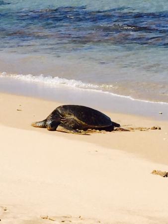 Nohonani Condos: turtles basking on the beach