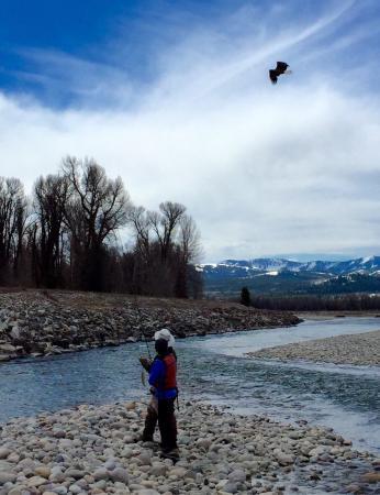 Grand Teton Fly Fishing: Bald Eagles Everywhere '