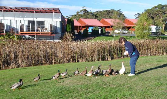 Tall Timbers Tasmania: Tall Timbers resident ducks enjoy a few scraps
