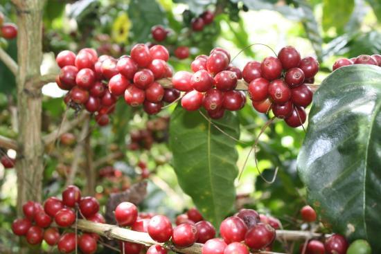 San Vito, Kosta Rika: Café maduro listo para la recolección