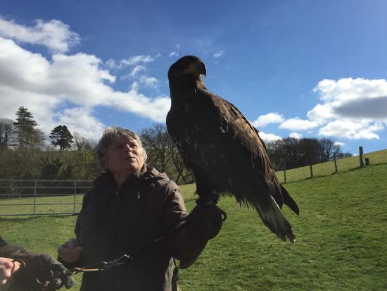 Falconry Experience Wales: American Bald Eagle is young, but still bigger than Pat!