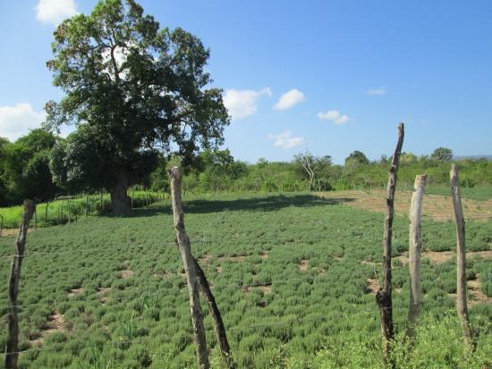 Saint Elizabeth Parish, Jamaica: fields around hotel