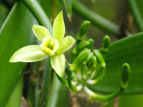 Plantation Vanilla-Bourbon