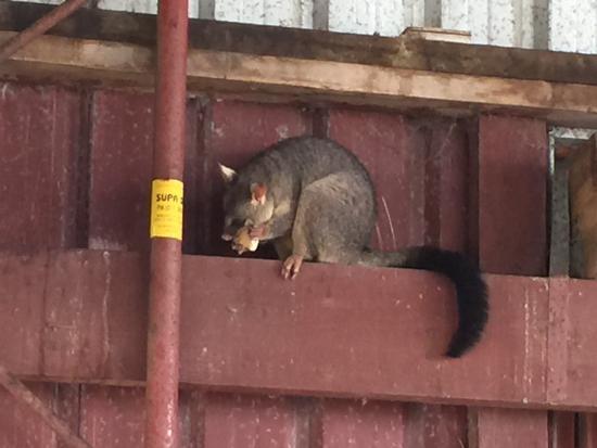 Gumnuts Farm and Horseriding Resort: Possum