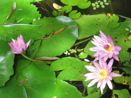 Fleur De Banane Non Comestible Picture Of Jardin De Balata Fort