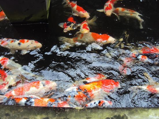 Wesberly Apartments: Huge Koi fish