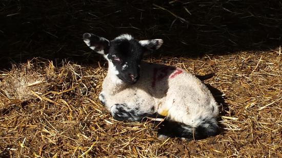 Reddivallen Farm: Spring Lamb