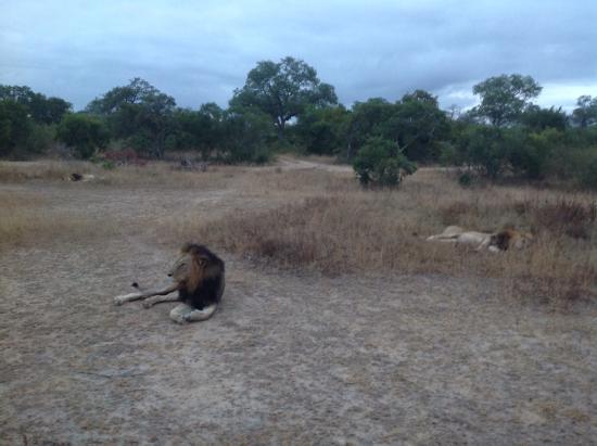 Inyati Game Lodge, Sabi Sand Reserve: Lion on morning drive