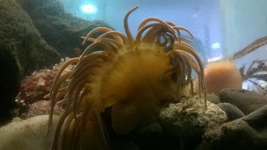 Tobermory Marine Exhibition: Beautiful snakelicks anemone