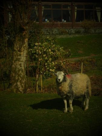 A hardwick sheep local to the area