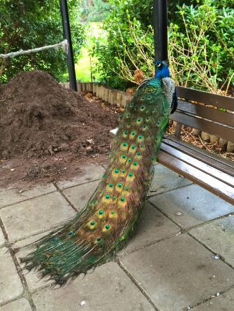 Peacock at The Parc Floral de Paris