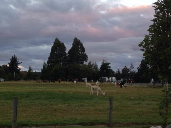 Bob and Maxine's Backpackers: Alpacas next door