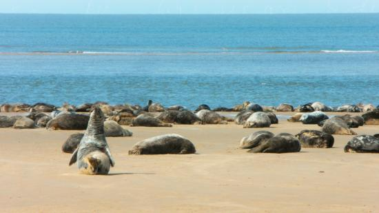 Morston, UK: Seals on Blakeney Point