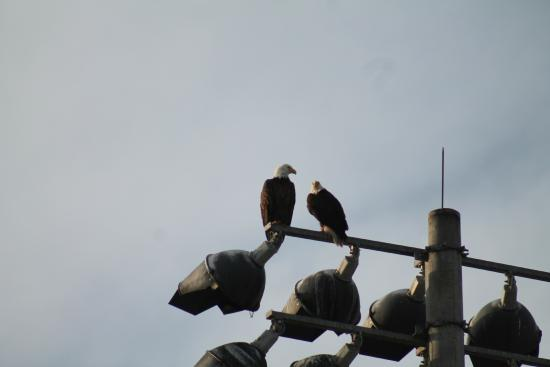 Candlewood Suites Fort Myers Sanibel / Gateway : Bald eagles hang out near the parkeing lot.
